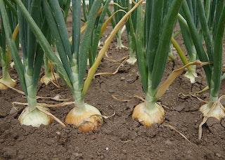 Plantenfiche allium cepa ajuin 13595